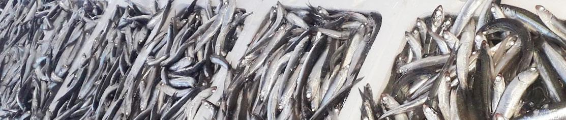 Comprar Boquerón fresco (Engraulis Encrasicolus) o anchoa  de Huelva de ofeta